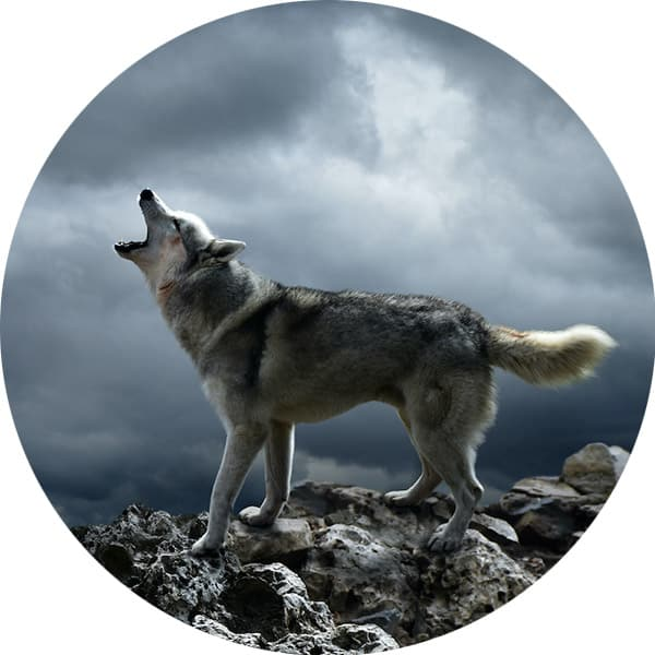 What Can We Learn From The Wolf's Immune System?